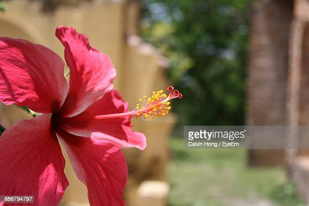 Close-Up Of Red Hibiscus Blooming Outdoors