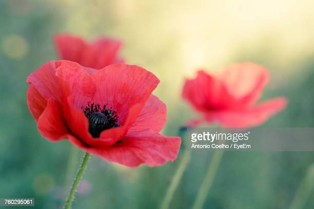 close-up of red hibiscus blooming outdoors - poppy stock pictures, royalty-free photos & images