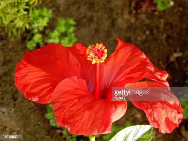 close-up of red hibiscus flower in bloom, springtime in the garden of mathilde zal - おしべ ストックフォトと画像