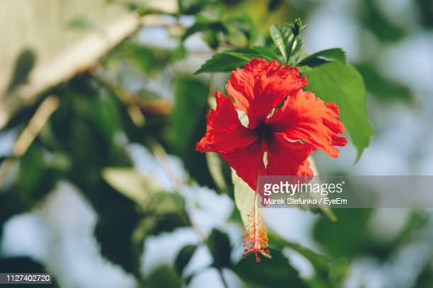 close-up of red hibiscus flower - marek stefunko stock photos and pictures