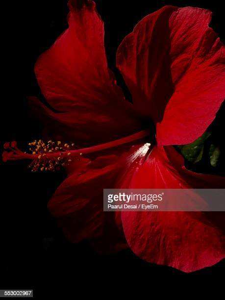 close-up of red hibiscus flower - stamen stock pictures, royalty-free photos & images