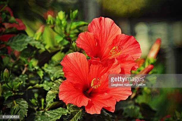 Close-Up Of Red Hibiscus Flowers Blooming Outdoors