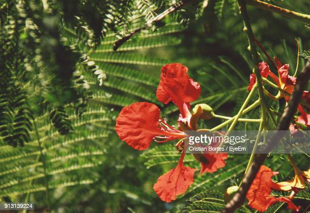 close-up of red hibiscus on tree - bortes cristian stock photos and pictures