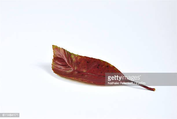 close-up of red leaf against white background - nathalie pellenkoft stock pictures, royalty-free photos & images