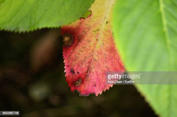 Close-Up Of Red Leaf During Autumn