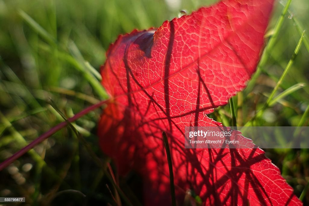 Close-Up Of Red Leaf In Meadow : Foto stock