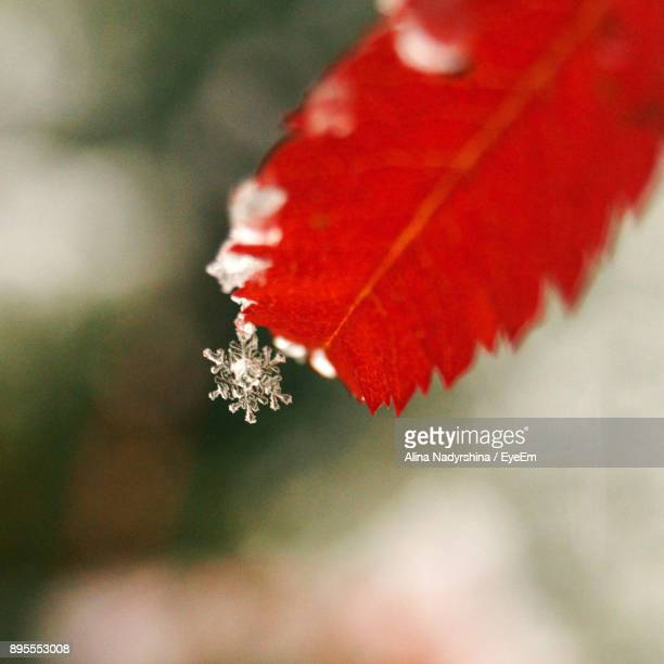 Close-Up Of Red Leaf On Tree During Winter