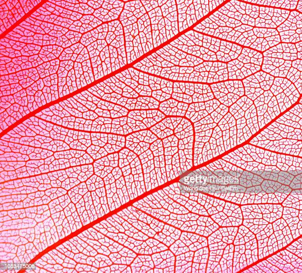 Close-Up Of Red Leaf Vein