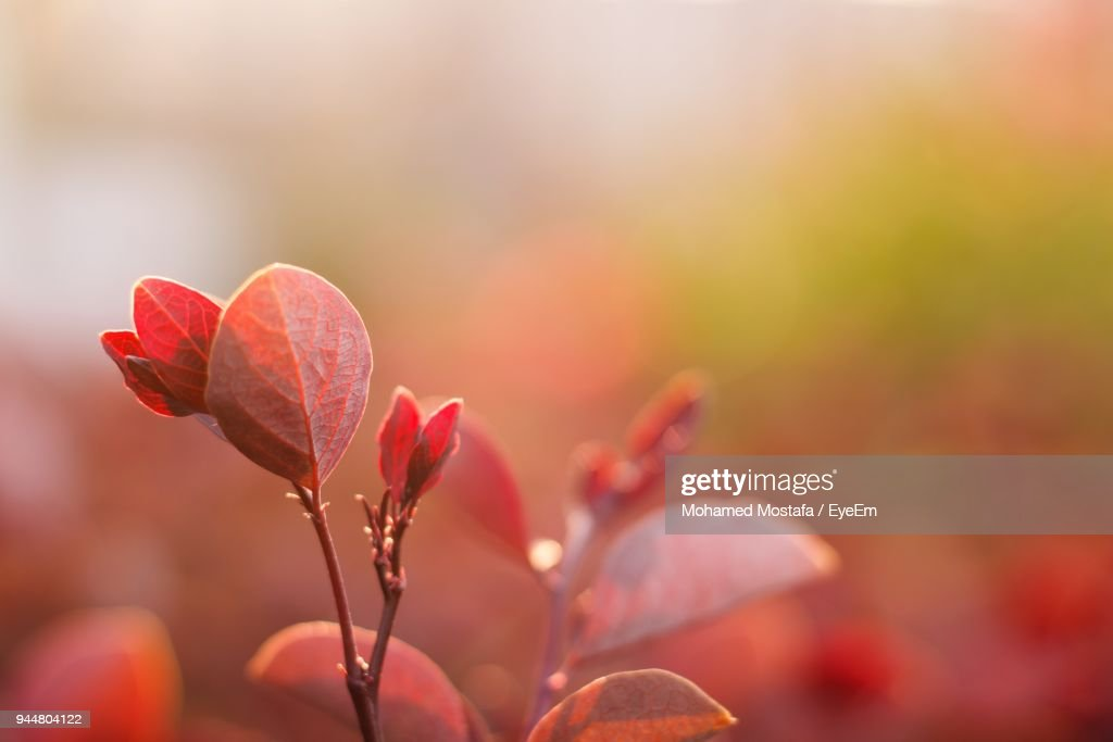 Close-Up Of Red Leaves Against Blurred Background : Stock Photo