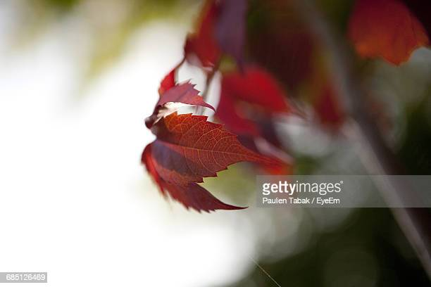close-up of red leaves growing on branch - paulien tabak foto e immagini stock