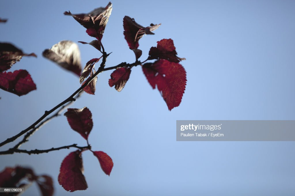 Close-Up Of Red Leaves On Branch Against Clear Blue Sky : Stockfoto