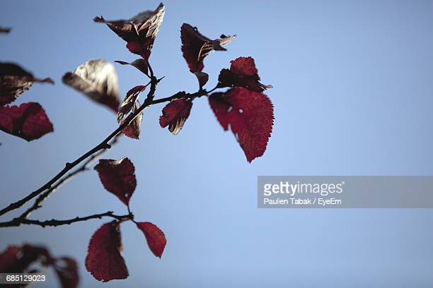 close-up of red leaves on branch against clear blue sky - paulien tabak stock pictures, royalty-free photos & images