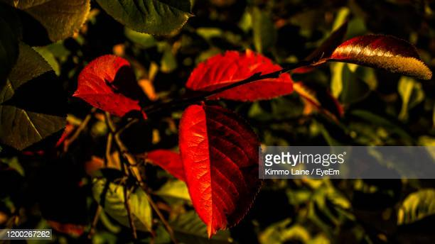 close-up of red leaves on plant during autumn - vanda stock pictures, royalty-free photos & images