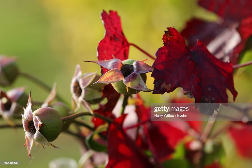 Close-Up Of Red Leaves On Plant : Stock Photo