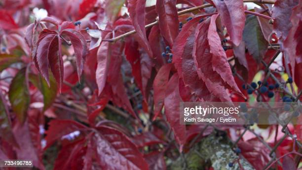 close-up of red leaves on tree - keith savage stock-fotos und bilder