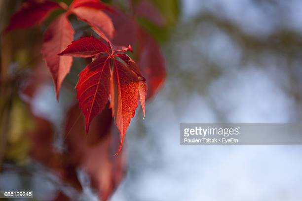 close-up of red leaves - paulien tabak foto e immagini stock