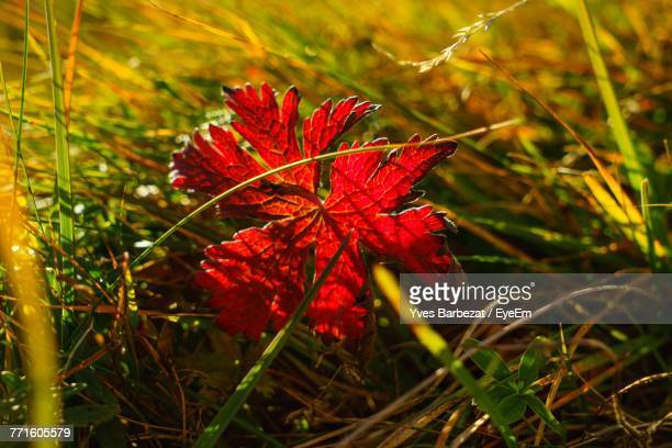 Close-Up Of Red Maple Leaf On Grass