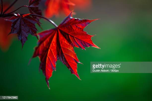close-up of red maple (acer) leaf, petawawa, ontario, canada - dustin abbott stock pictures, royalty-free photos & images