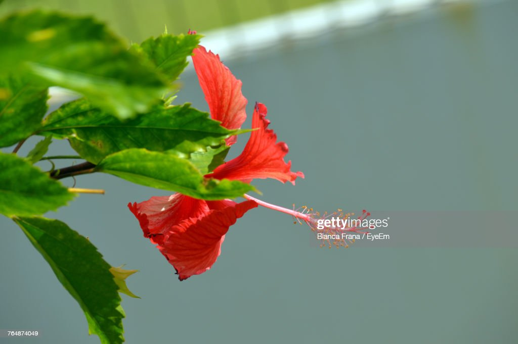 Closeup Of Red Maple Leaf Stock Photo Getty Images
