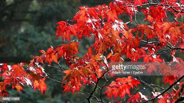 close-up of red maple leaves on tree - adam rippon 2016 stock pictures, royalty-free photos & images