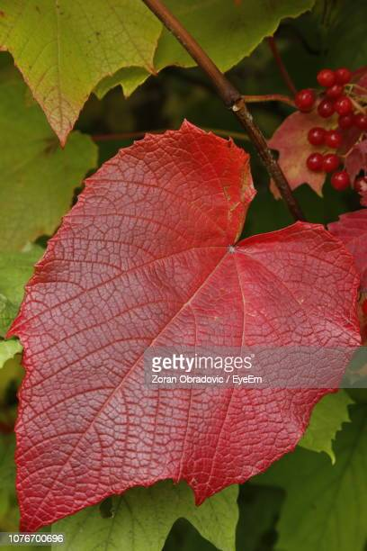 Close-Up Of Red Maple Leaves