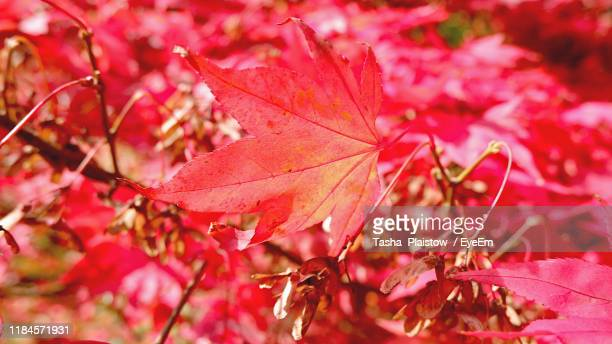 close-up of red maple leaves - tetbury stock pictures, royalty-free photos & images