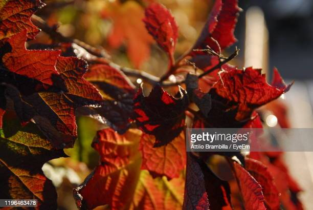 close-up of red maple leaves - ミュールーズ ストックフォトと画像