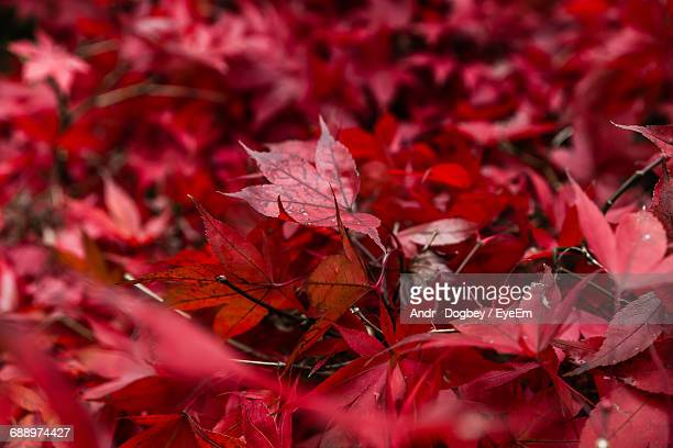 close-up of red maple leaves - maroon stock pictures, royalty-free photos & images