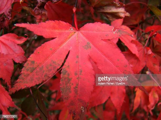 close-up of red maple leaves - adam rippon 2016 stock pictures, royalty-free photos & images