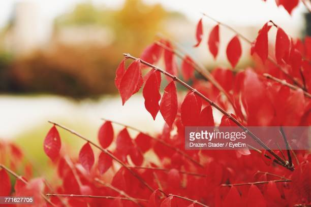close-up of red maple leaves - drazen stock pictures, royalty-free photos & images