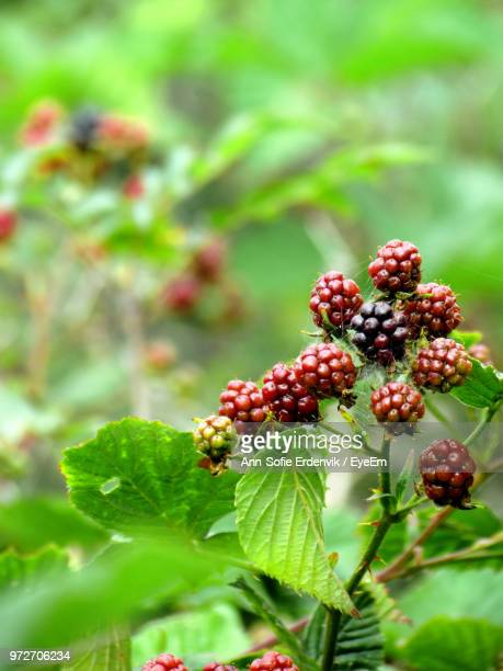 Close-Up Of Red Mulberries Growing On Plant