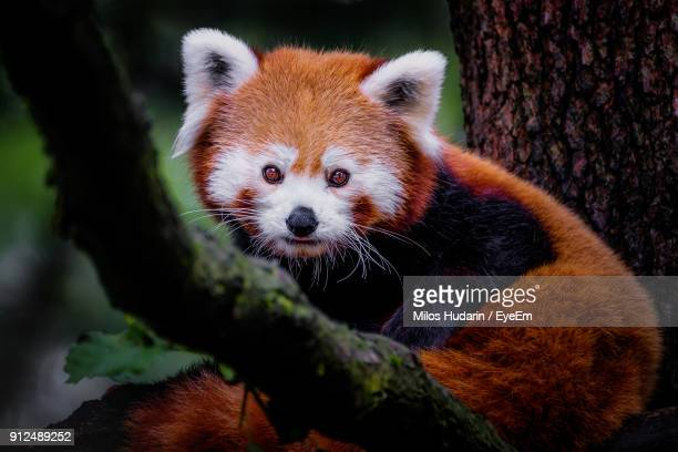 close-up of red panda on tree - red panda stock pictures, royalty-free photos & images