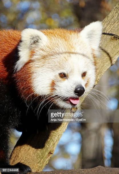 close-up of red panda on tree - berlin zoo stock pictures, royalty-free photos & images