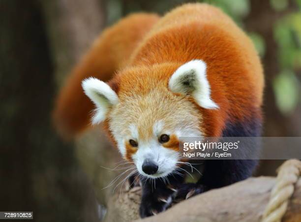 close-up of red panda - red panda stock pictures, royalty-free photos & images