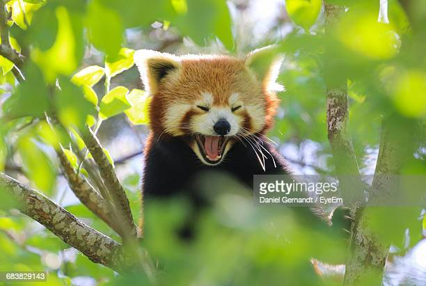 close-up of red panda yawning in tree - red panda stock pictures, royalty-free photos & images