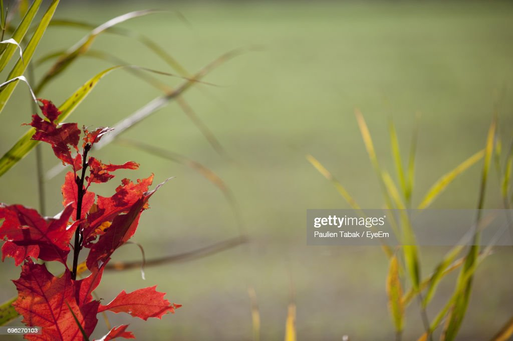 Close-Up Of Red Plant : Stockfoto