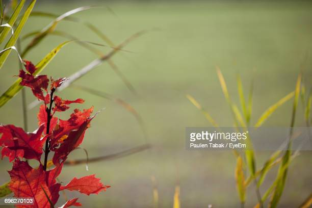close-up of red plant - paulien tabak stock pictures, royalty-free photos & images