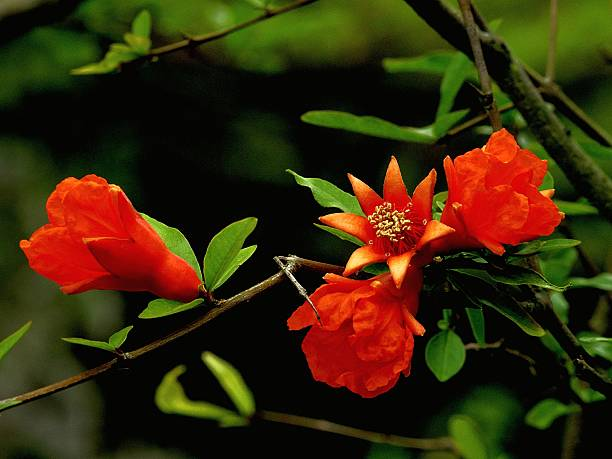 close-up of red pomegranate flowers - pomegranate tree stock photos and pictures
