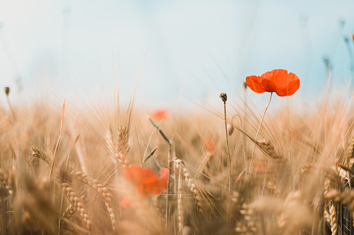 close-up of red poppies and gold colored barley, germany - gettyimageskorea
