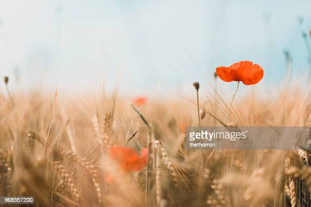 close-up of red poppies and gold colored barley, germany - feld stock-fotos und bilder