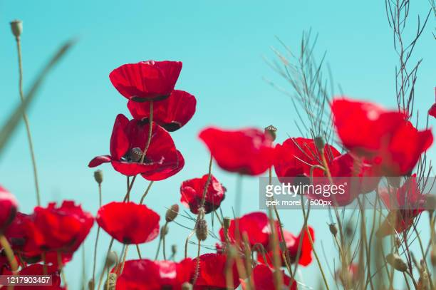 close-up of red poppies in field, odunpazar, eskisehir province, turkey - ipek morel stock pictures, royalty-free photos & images