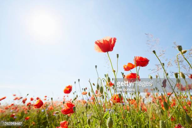 close-up of red poppies on meadow against sunlight and blue sky - meadow stock pictures, royalty-free photos & images