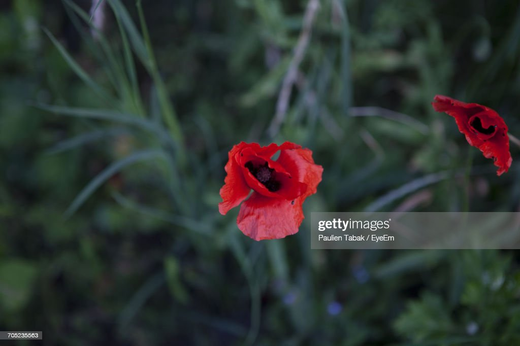 Close-Up Of Red Poppy Blooming In Garden : Stockfoto