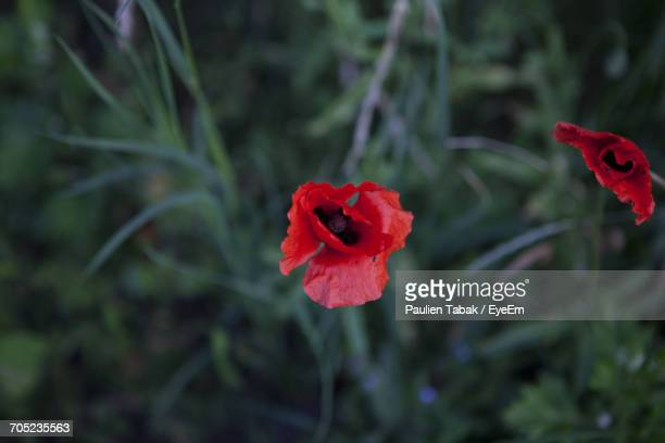 Close-Up Of Red Poppy Blooming In Garden