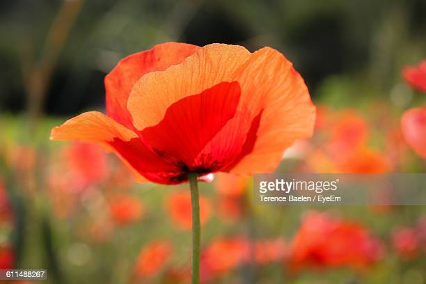 Close-Up Of Red Poppy Blooming On Field