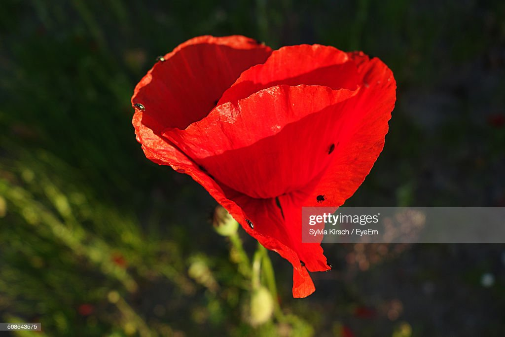 Close-Up Of Red Poppy Blooming Outdoors : Stock Photo