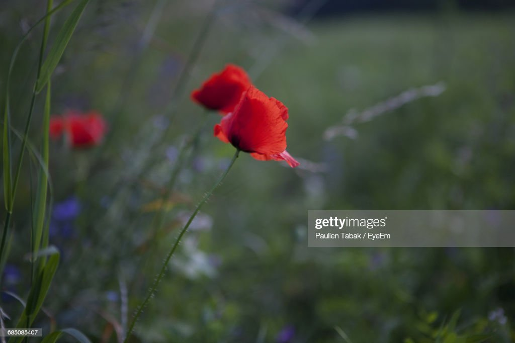 Close-Up Of Red Poppy Blooming Outdoors : Stockfoto