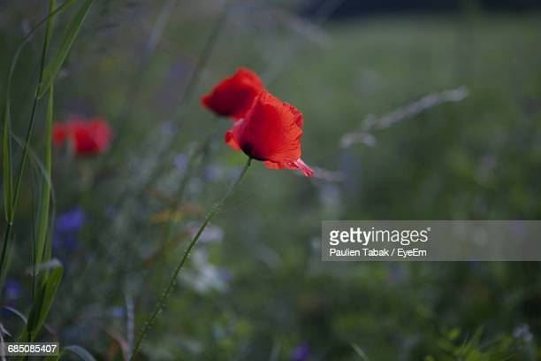 close-up of red poppy blooming outdoors - paulien tabak foto e immagini stock