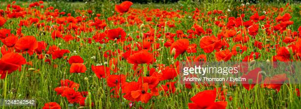 close-up of red poppy field flowers on field - 100th anniversary stock pictures, royalty-free photos & images