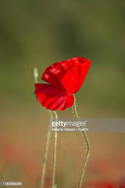 close-up of red poppy flower - europe stock pictures, royalty-free photos & images